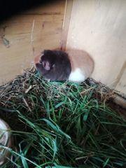 Peggy Teddy Meerschweinchen 1 Jahr