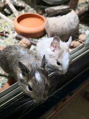2 Degu Weibchen mit Käfig