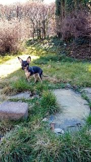 Toy Terrier mix 7 monat