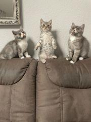 Bkh Kitten Abgabe bereit noch