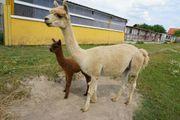 Alpakas Huacaya Stute gedeckt