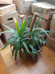 Yucca Palme 100 cm