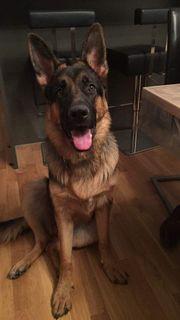 Schäferhund Georgie sucht ein neues