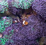 Amphiprion ocellaris - Clownfisch Pärchen zu