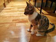 Katze in Dornbirn Schoren vermisst