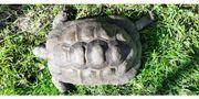 Maurische Landschildkröten Paar von 2013