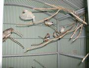 zuchtreife zebrafinken sowie auch junge