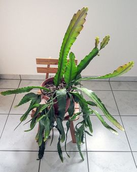 Bild 4 - großer roter Blattkaktus Epiphyllum Kaktus - Lustenau
