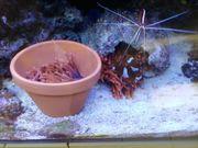 Entacmaea quadricolor Kupferanemone Meerwasser