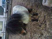 Mini Shetland Hengst 5 Jahre