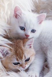 BKH Kitten in golden shell