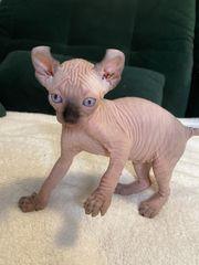 Elf Sphynx Kitten