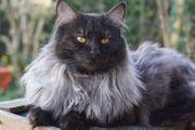 Deckkater Norwegische Waldkatze in black