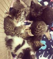 Wundervolle Babykitten suchen zuhause