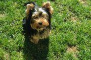 Suche Yorkshire Terrier Welpe