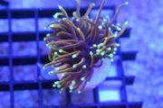 Golden Torch glabrescens Euphyllia Korallen