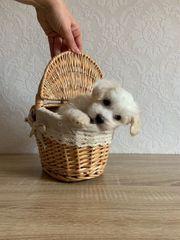 Mini Malteser zur verkaufen