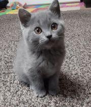 Reinrassigen BKH Katze