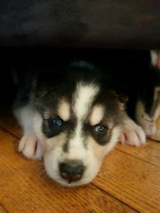 Luna 3 Monate Husky