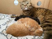 scottish fold kitten - orange rot