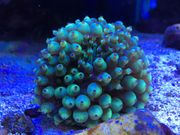 Minianemonen Cribrinopsis crassa