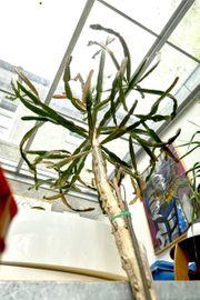 Riesen - Kaktus