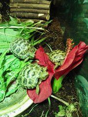 Vierzehen Schildkröte Testudo Horsfieldii
