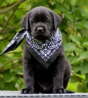 Labrador Welpe - Rüde - schwarz bereit