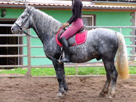 Pferde - Lipizzanermixwallach Bastek