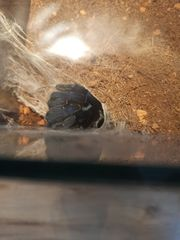 Haplopelma lividum Cyriopagopus lividus Vogelspinne