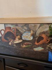 Lissachatina fulica mit Terrarium