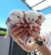 Reinrassige BKH Kitten Reinrassige BKH