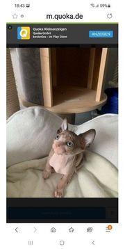 Hübsche Sphynx Kitten
