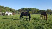 Pferdebox für Wallach frei in