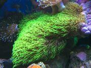 Korallen Ableger LPS für Anfänger