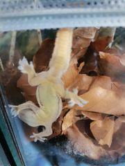 3 Asiatische Hausgeckos