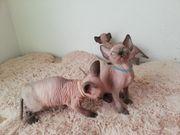 Sphynx Kitten mit Stammbaum Jungen
