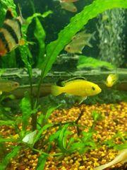 Yellow Malawis