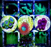 Meerwasser Korallen Zoas Krustenanemonen