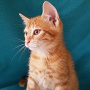 Katzenbabys - 14 Wochen alt