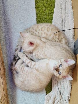 Snow Bengal Kitten, Bengalkitten, Schneebengalen