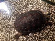 Chinesische Streifenschildkröten Wasserschildkröten