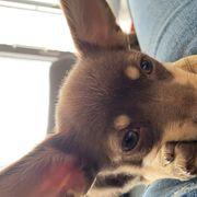 Chihuahua pinscher mix abzugeben