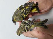 Erlenzeisige vögeln
