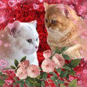 Wurfankündigung BKH Kitten traumhafte Katzenbabys
