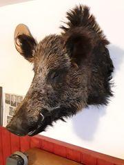 Tierpräperat Wildschweinkopf Keiler