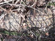 Griech Landschildkröten THb abzugeben