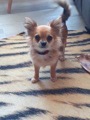 mini Chihuahua hündin reserviert