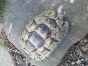 Maurische Landschildkröte zu verkaufen