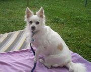 Malteser-Chihuahua mix weiß gesucht